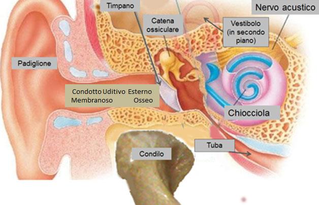 Otite Esterna Fig.1 anatomia